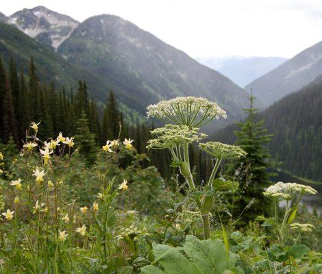 fleurs et montagnes Kokanee Glacier