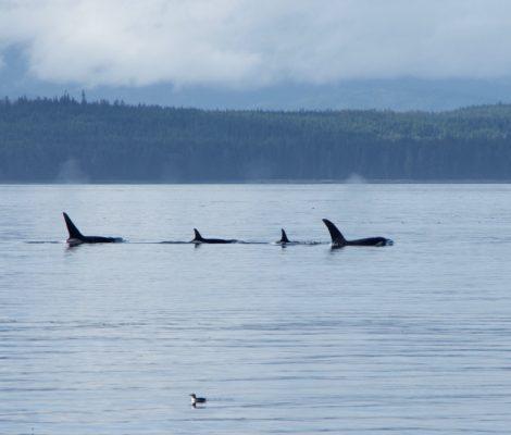 orques ile de vancouver mackay